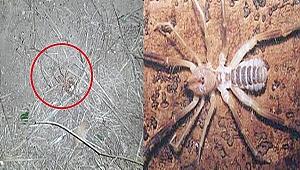 Çanakkale'de et yiyen örümcek görüldü!