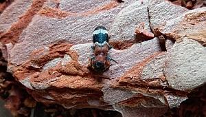 Çanakkale ormanlarına 2 bin avcı böcek salınacak