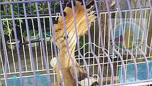 Yaralı İbibik Kuşu tedavi altına alındı