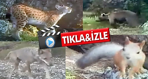 Ormanda fotokapana takılan hayvanlar
